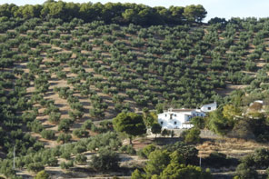 Bike Andalucia Olive Groves in MOntefrio