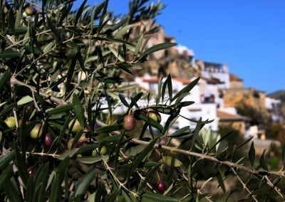 Self-Guided Cycling in Andalucia, Spain - Olives