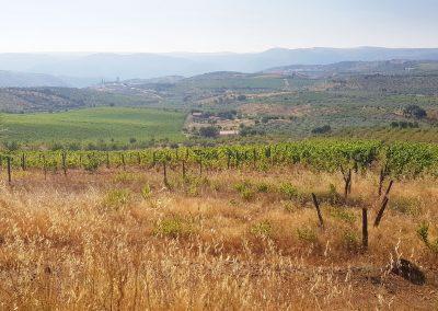 Vines in Douro's wine region