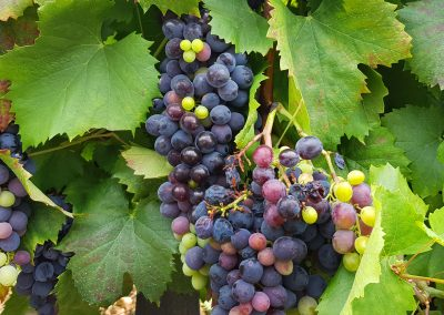 Grapes in the Douro