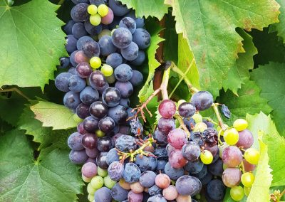 Grapes from the Douro